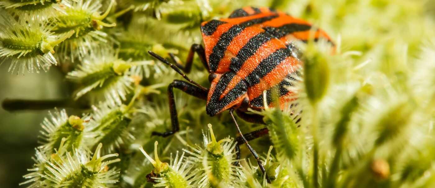 bedbug-p94t2yc_optimized