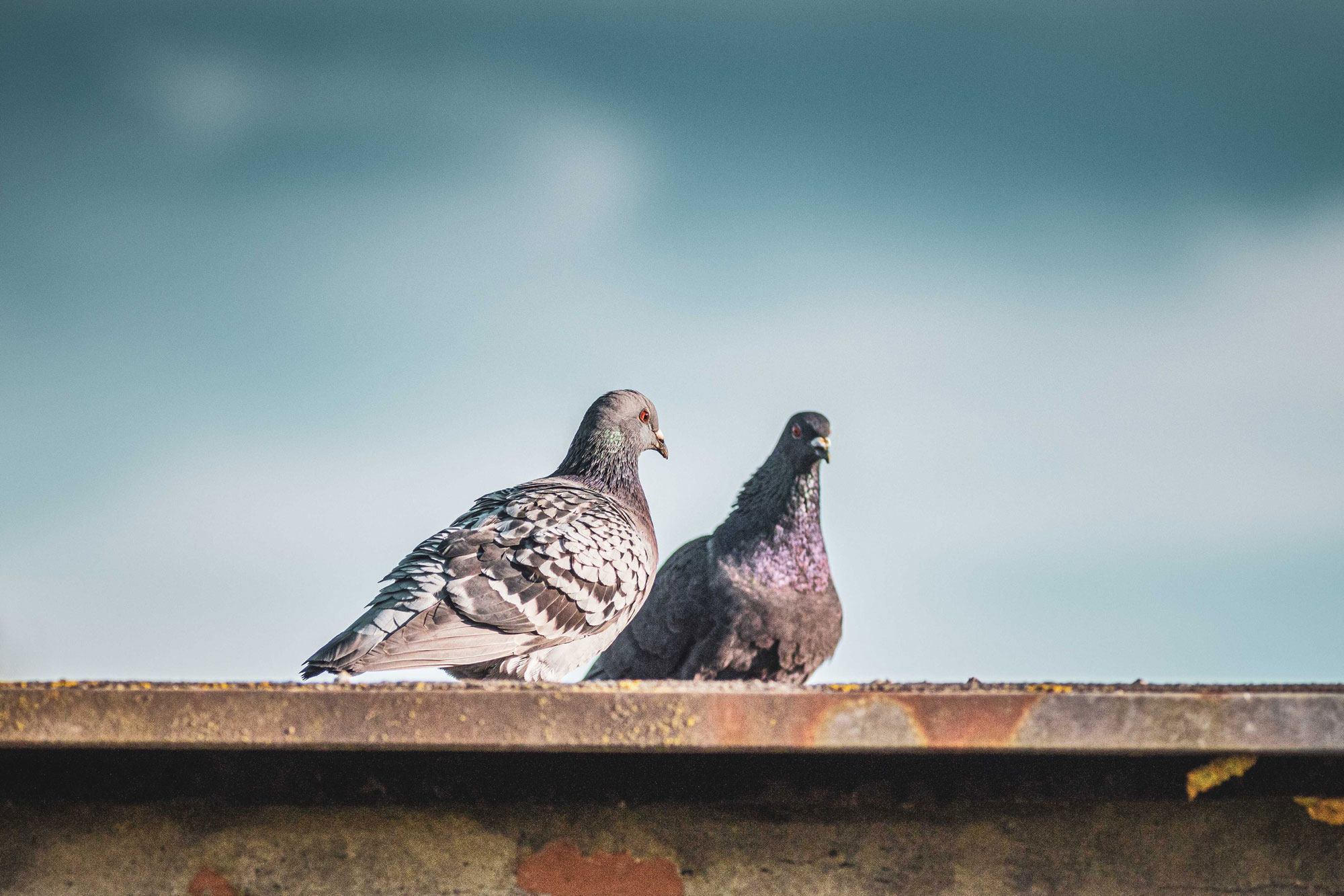closeup-shot-two-stock-doves-standing-roof_optimized